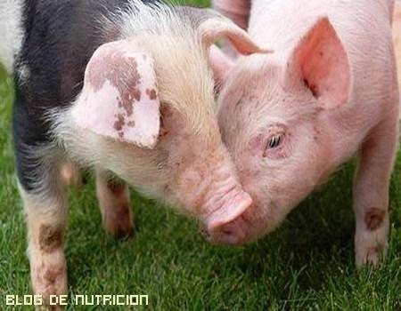 Órganos del cerdo